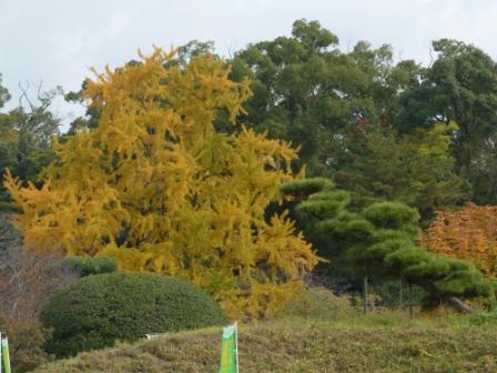 道後公園 イチョウの黄葉 1