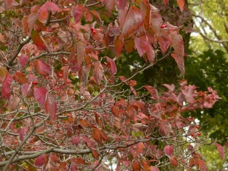 道後公園の紅葉 桜の仲間 ?
