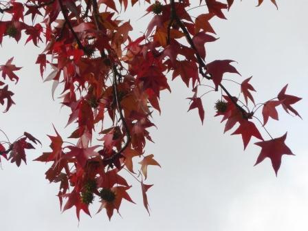 道後公園 モミジバフウの紅葉 3