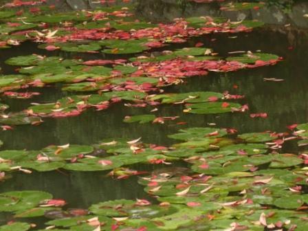 道後公園の紅葉の落ち葉 2