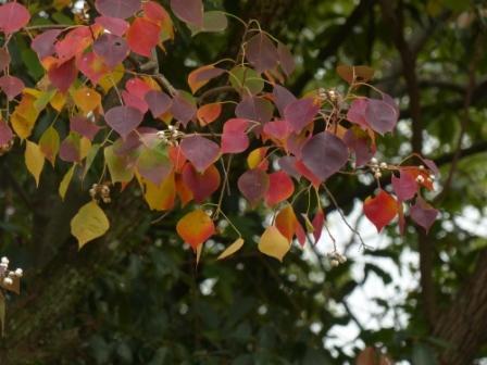 道後公園 ナンキンハゼ の紅葉と実 2
