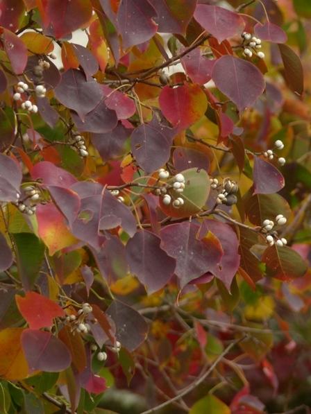 道後公園 ナンキンハゼ の紅葉と実 1