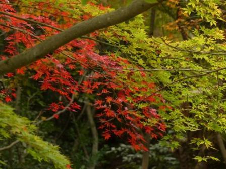 道後公園 イロハモミジ の紅葉 2