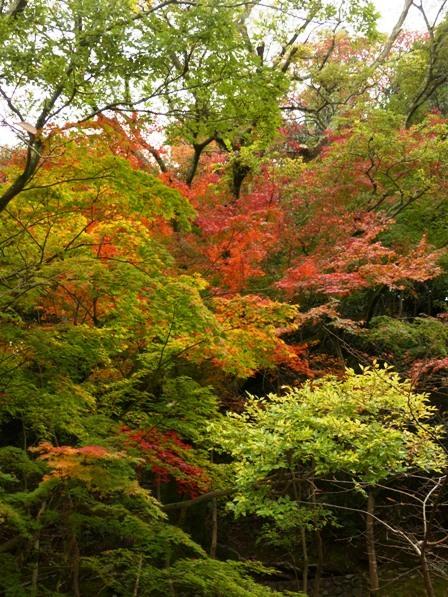 道後公園 イロハモミジ の紅葉 1