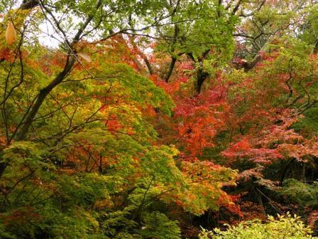 道後公園 イロハモミジ の紅葉 3