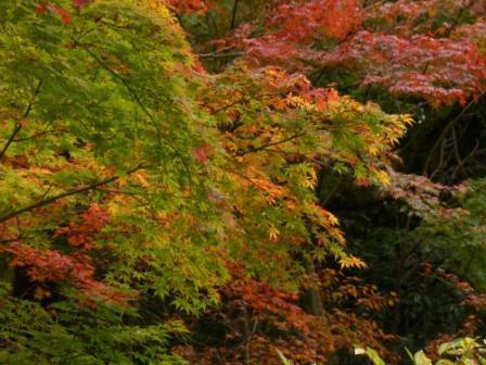 道後公園 イロハモミジ の紅葉 4