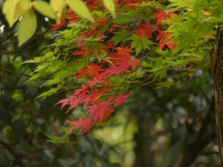 道後公園 イロハモミジ の紅葉 5