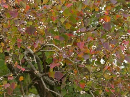 道後公園 ナンキンハゼ の紅葉と実 4