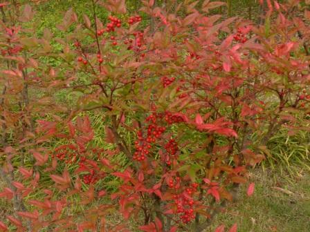 道後公園 ナンテン の紅葉と実 1