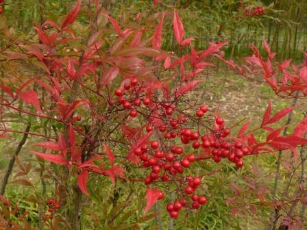 道後公園 ナンテン の紅葉と実 2