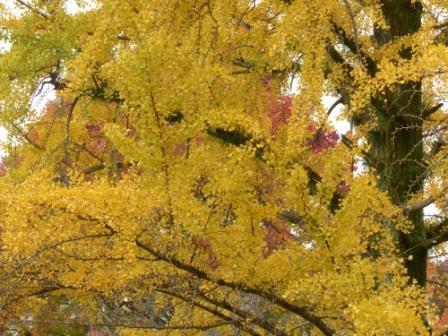 道後公園 イチョウの黄葉 6