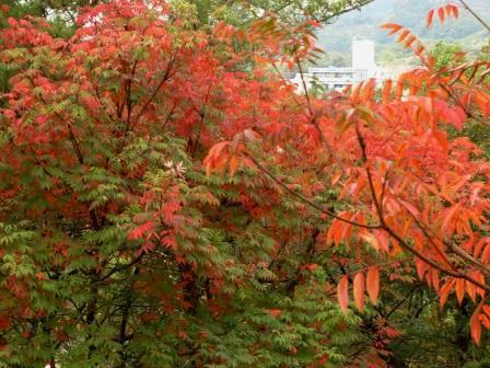 道後公園 ハゼノキ の紅葉 2