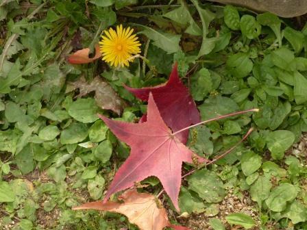 タンポポ と 紅葉の落ち葉