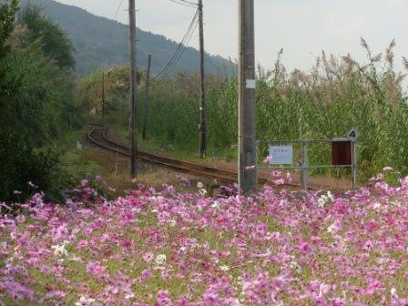 JR下灘駅 コスモス 10