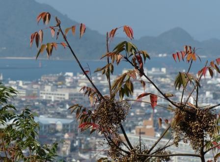 松山総合公園 ハゼノキの実 2