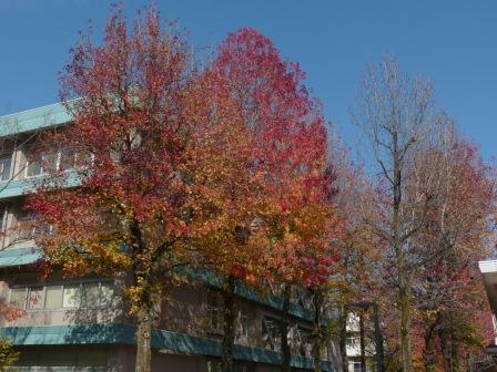 愛媛大学の紅葉 9