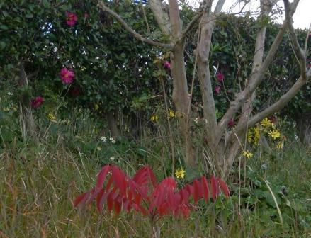 ハゼノキ の紅葉 2
