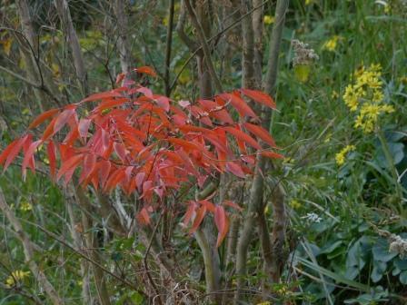 ハゼノキ の紅葉 1