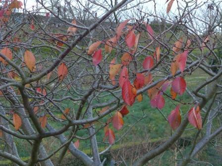 サクラ の紅葉