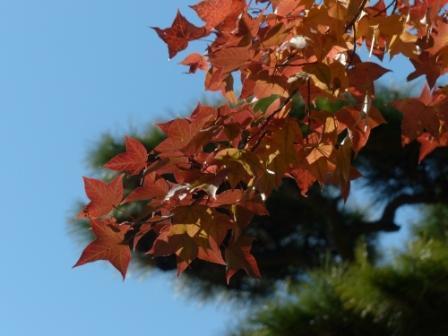 タイワンフウ 紅葉 2