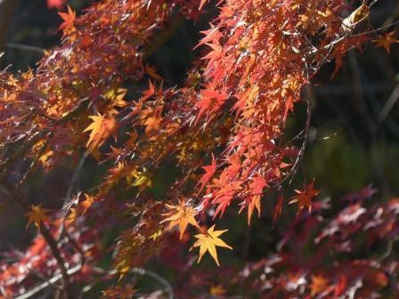 イロハモミジ 紅葉 3