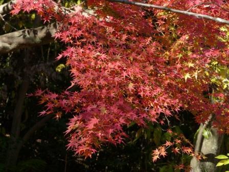 イロハモミジ 紅葉 4
