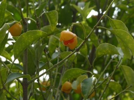 牧野植物園 ヒゼンマユミ