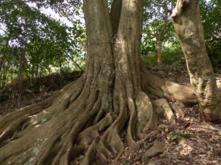 牧野植物園 ツブラジイ の板根 1