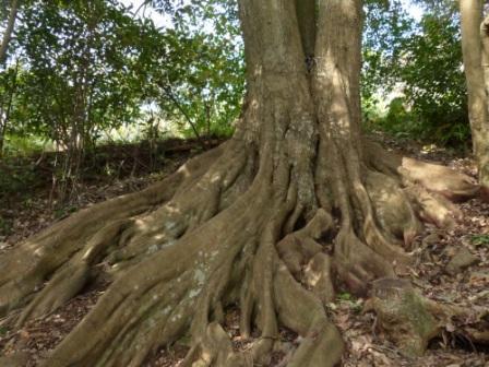 牧野植物園 ツブラジイ の板根 2