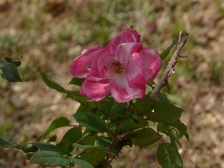 牧野植物園 バラの園芸品種 2