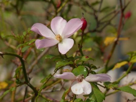 牧野植物園 バラの園芸品種 3