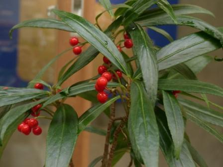 牧野植物園 カラタチバナ 基本種