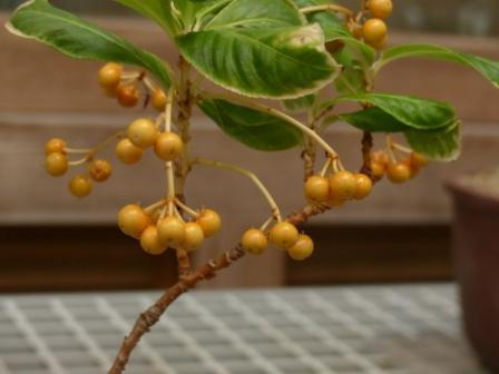 牧野植物園 カラタチバナ 黄金小判