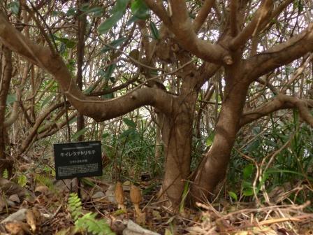 牧野植物園 トベラの木 & キイレツチトリモチ