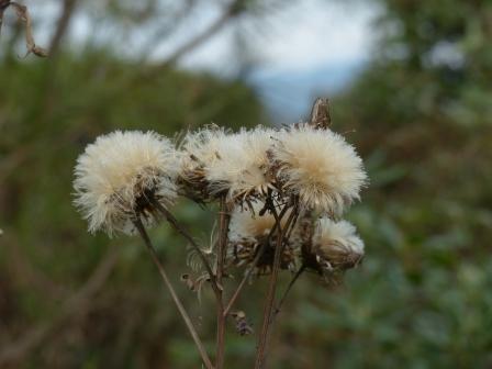牧野植物園 ヒメヒゴタイ