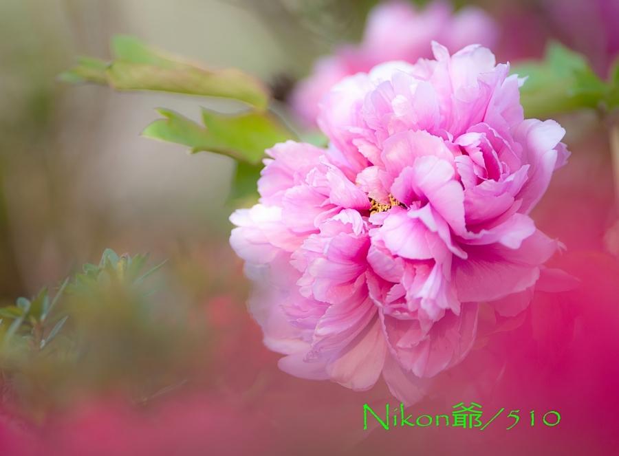 牡丹s_filtered