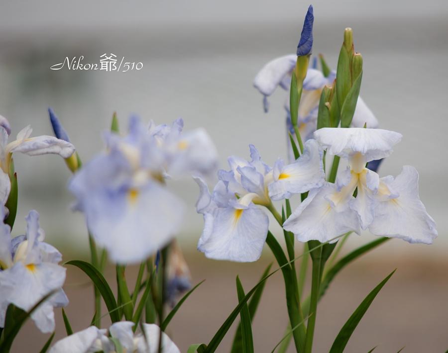 花菖蒲園2_fs