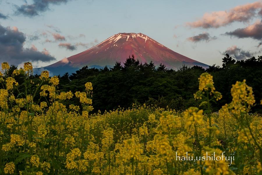 菜の花に赤富士sn_filtered