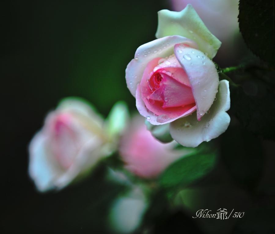 バラ Corel sn
