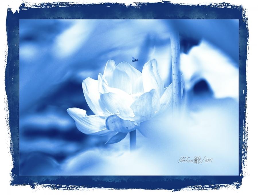 青い蓮snf