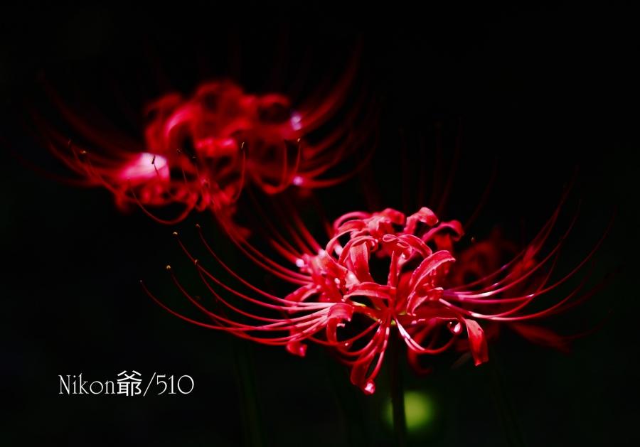 彼岸花 (45)nfs