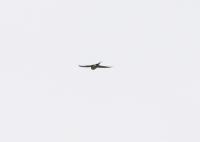 コシアカツバメ