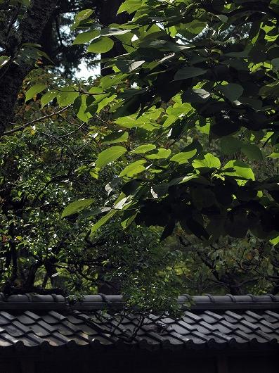 円覚寺大きな葉20160907