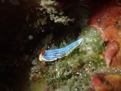 12-01 サメジマオトメウミウシ