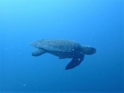 09-01 アオウミガメ