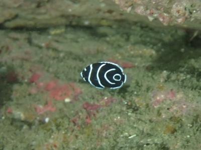 10-10 タテジマキンチャクダイ幼魚