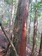 巻いてない木は鹿が皮を食べてしまうと・・・。-s