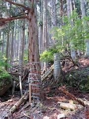 杉の木にビニールが巻いて有り???でしたが皮が剥がされないようにとの事です。何千本もよくぞ巻きました。-s