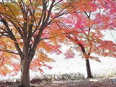 06赤川ダムの紅葉-s
