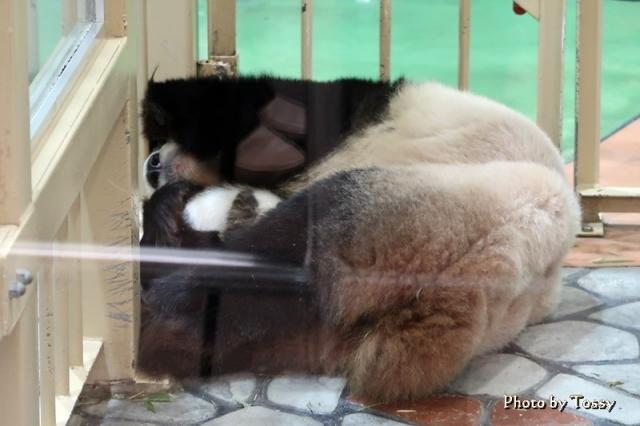 パンダの赤ちゃん2